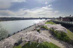 Cherry Blossoms Along Portland Willamette flod Arkivbild