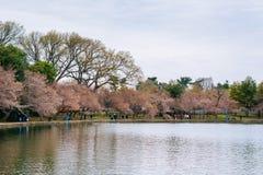 Cherry blossoms along the Tidal Basin, in Washington, DC stock photos