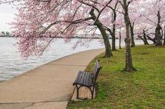 Cherry Blossoms Along The Tidal-Becken Lizenzfreie Stockfotos