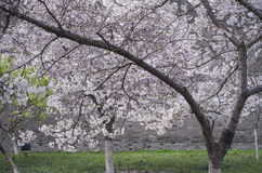 Cherry blossoms and ancient city wall Royalty Free Stock Images