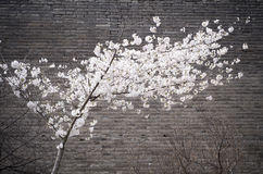 Cherry blossoms and ancient city wall Stock Photography