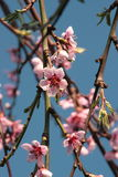 Cherry blossoms announcing a good late summer harvest Stock Photography