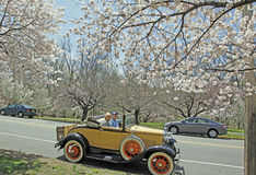 Cherry Blossoms. Cherry Blossom Festival, Branch Brook Park, Newark, NJ. Couple in their antique 1930 Model A Ford Cabriolet car Stock Images
