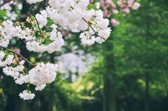 White cherry blossoms in spring stock photography