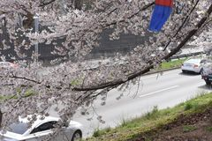 Cherry blossoms on April 07, 2019, Seoul , South Korea royalty free stock photography