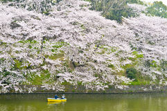 Cherry blossoms. Around  Chidorigafuchi imperail and people on boat Royalty Free Stock Images