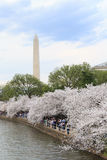 Cherry blossoms around the Washington Monument Royalty Free Stock Images