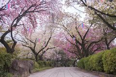 Beautiful hanami party with the pink cherry blossom of Asukayama park in the Kita district of Tokyo, Japan. Cherry blossoms of Asukayama Park in Kita district stock photo