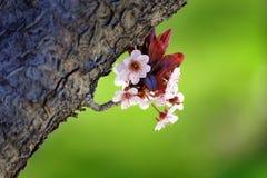 Cherry Blossoms auf Baum mit Niederlassungen und Barken-grünem Gras Lizenzfreie Stockbilder