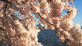 Cherry Blossoms auf Windy Spring Day stock video