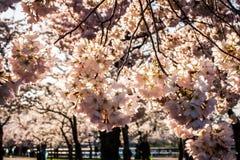 Cherry Blossoms avec le contre-jour de matin Images libres de droits