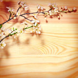 Cherry blossoms background. Royalty Free Stock Images