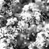 Cherry blossoms background. White Spring Flowers Royalty Free Stock Image