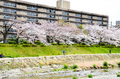 Cherry blossoms on the Bank along Takano River, Kyoto, Japan Stock Photos
