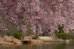 Cherry Blossoms. Beautiful Bokeh, Cherry Blossoms Over Pond Stock Photo