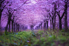 Cherry blossoms. Beautiful cherry blossoms in spring Royalty Free Stock Photography