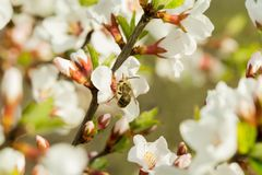 The cherry blossoms are beautifully blooming on a branch with a blurred background. On which sits bee, collects nectar.  stock photography