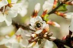 The cherry blossoms are beautifully blooming on a branch with a blurred background. On which sits bee, collects nectar.  stock image