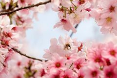 Cherry blossoms & bee Royalty Free Stock Image