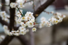Cherry blossoms and bee. Branch of white Cherry blossoms and flying bee royalty free stock images