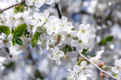 Cherry blossoms and bees stock photography