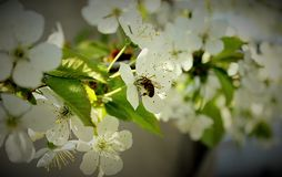 Cherry blossoms but bees do not rest work all day royalty free stock image