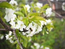 Cherry blossoms, bees pollinate stock photography