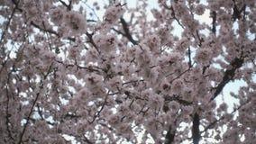 Cherry Blossoms Bel arbre fruitier fleuri rose sous un ciel bleu clips vidéos