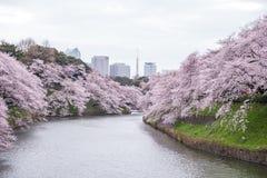 Cherry Blossoms bij Chidorigafuchi-gracht, Chiyoda, Tokyo, Japan in de lente Royalty-vrije Stock Afbeeldingen