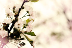 Cherry Blossoms Royalty Free Stock Photo