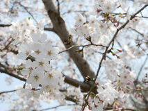 Cherry Blossoms blanc Sakura dans le printemps Photos stock
