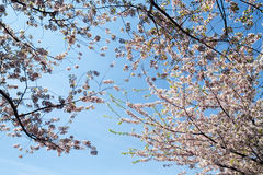 Cherry Blossoms in Bloom Royalty Free Stock Photography