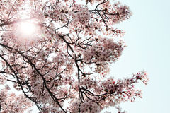Cherry Blossoms. In bloom in Changwon, Vietnam Stock Photo