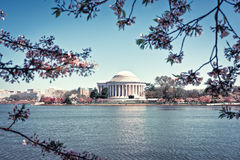 Cherry Blossoms. Bloom in front of the Potmac River and Jefferson Memorial in Washington DC royalty free stock images