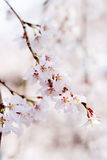 Cherry blossoms bloom in Japan stock image