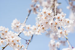 Cherry blossoms bloom in Japan royalty free stock image