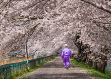 Cherry blossoms bloom path, Japan Stock Photo