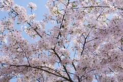 Cherry blossoms in bloom Stock Photography