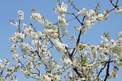 Cherry blossoms bloom in spring in the Italian hills Royalty Free Stock Photography