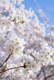 Cherry Blossoms Blooming royalty free stock photos