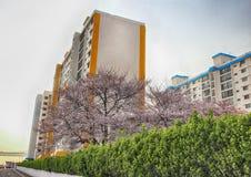 Cherry Blossoms Blooming in Namcheondong, Suyeonggu, Busan, Zuid-Korea, Azië royalty-vrije stock foto's