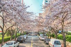Cherry Blossoms Blooming in Namcheondong, Suyeonggu, Busan, Zuid-Korea, Azië royalty-vrije stock afbeeldingen