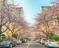 Cherry Blossoms Blooming in Namcheondong, Suyeonggu, Busan, Zuid-Korea, Azië stock fotografie