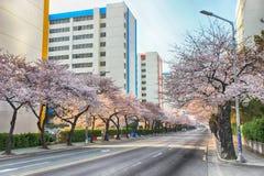 Cherry Blossoms Blooming in Namcheondong, Suyeonggu, Busan, Zuid-Korea, Azië stock foto
