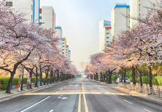 Cherry Blossoms Blooming in Namcheondong, Suyeonggu, Busan, Zuid-Korea, Azië stock afbeelding