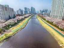 Cherry Blossoms Blooming in Oncheoncheon-Burgerspark, Busan, Zuid-Korea, Azië royalty-vrije stock afbeelding