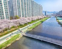 Cherry Blossoms Blooming in Oncheoncheon-Burgerspark, Busan, Zuid-Korea, Azië stock foto