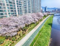 Cherry Blossoms Blooming in Oncheoncheon-Burgerspark, Busan, Zuid-Korea, Azië royalty-vrije stock foto