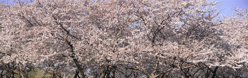 Cherry Blossoms blooming in Springtime, National Mall in Washington D.C. Stock Photos