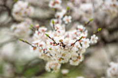 Cherry Blossoms blooming in Takayama, Japan Stock Photography